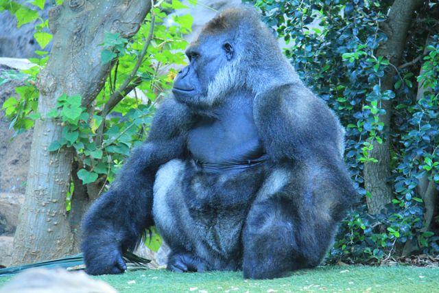 King Kong, orki i inne zwierzęta cz. 1